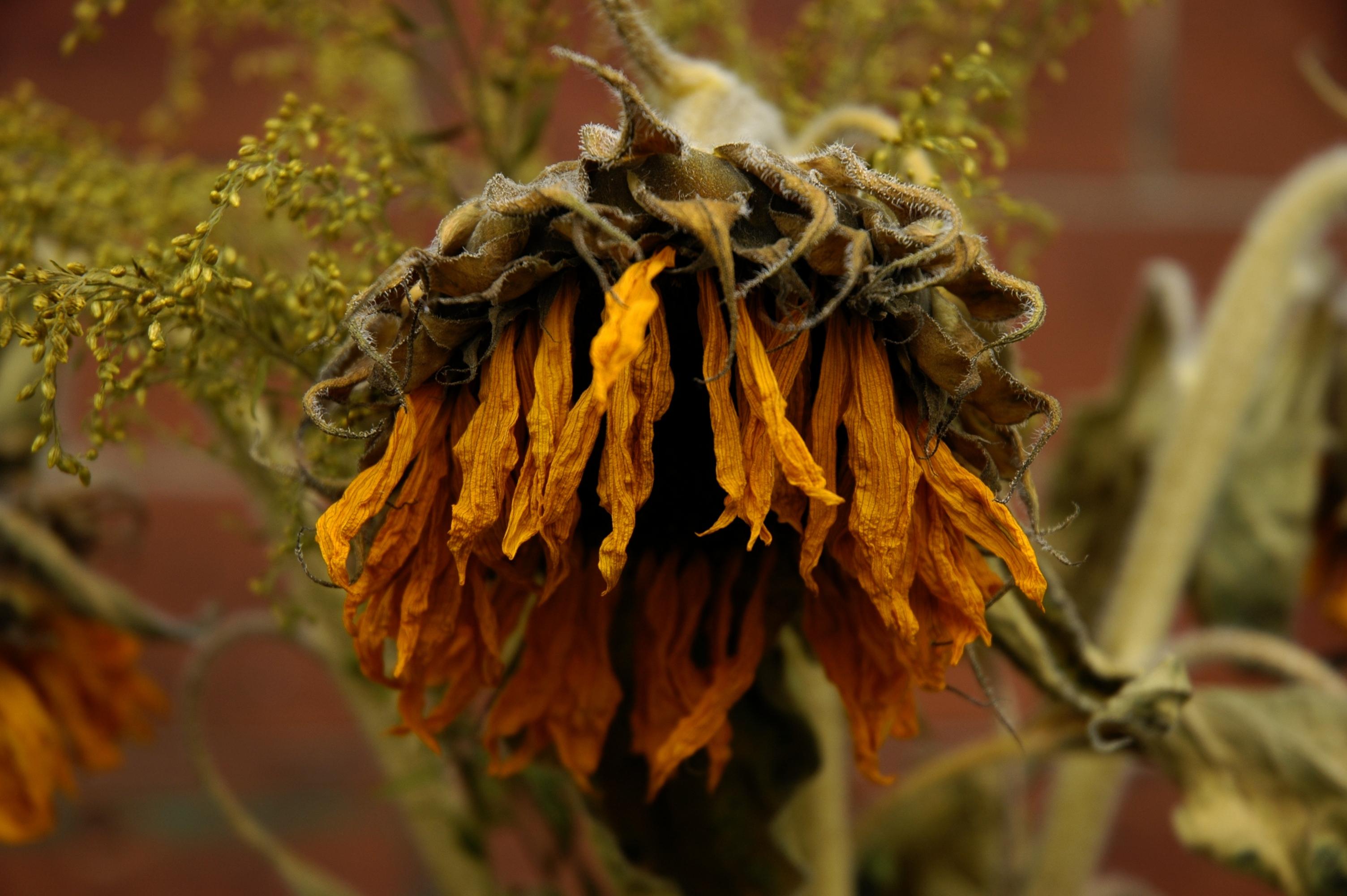 photo of a dead sunflower