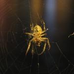 Budapest spider